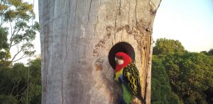 Close up of a lorikeet at the hollow of the Addison Road urban habitat tree